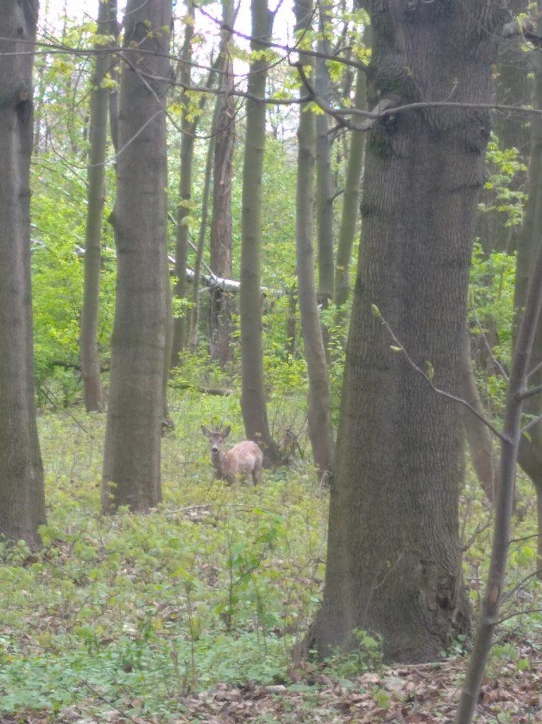 Kozioł. Las Bażantarnia w Łańcucie